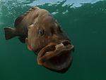red grouper market