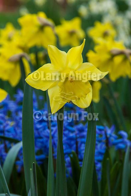 Daffodil flowers, McLaughlin's Daffodil Hill in bloom, Volcano, Calif.