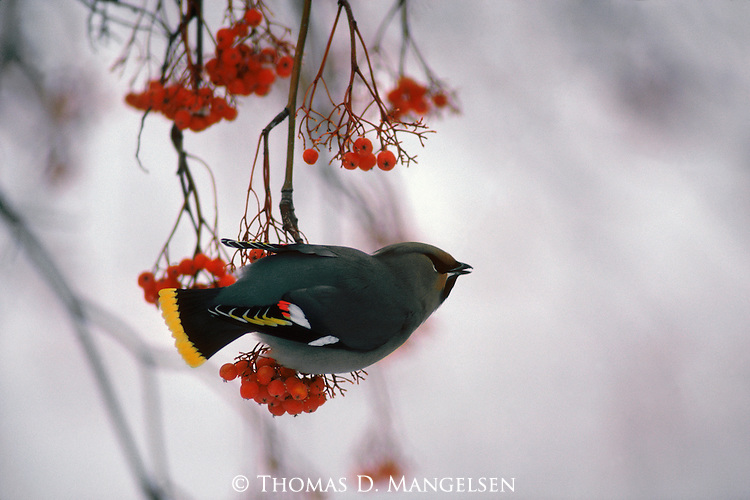 Bohemian waxwing perched on a mountain ash branch.