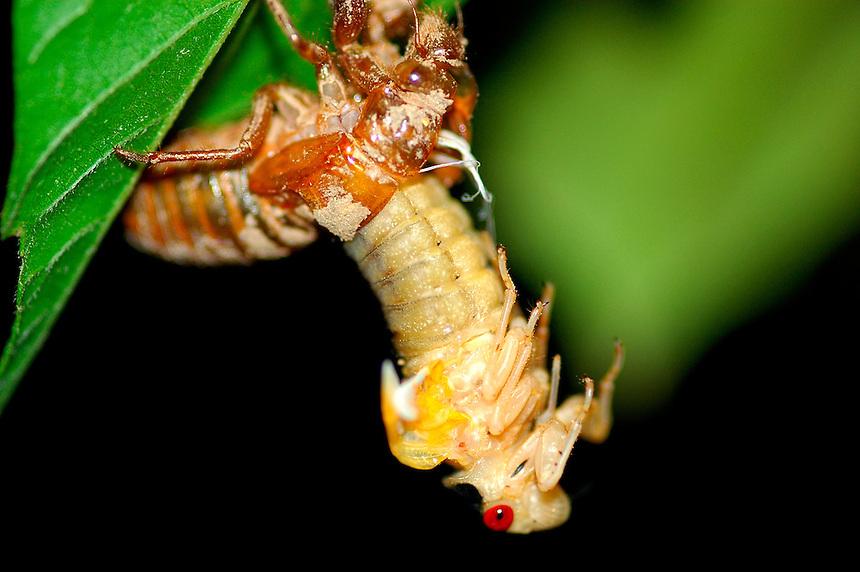 Birth of Cicada Brood X
