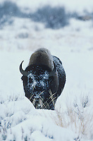 American Bison, Buffalo (Bison bison), adult in snow, Yellowstone National Park,Wyoming, USA