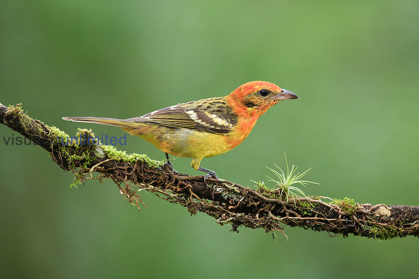 Female Flame-colored Tanager on a cloud forest branch (Piranga bidentata), Costa Rica