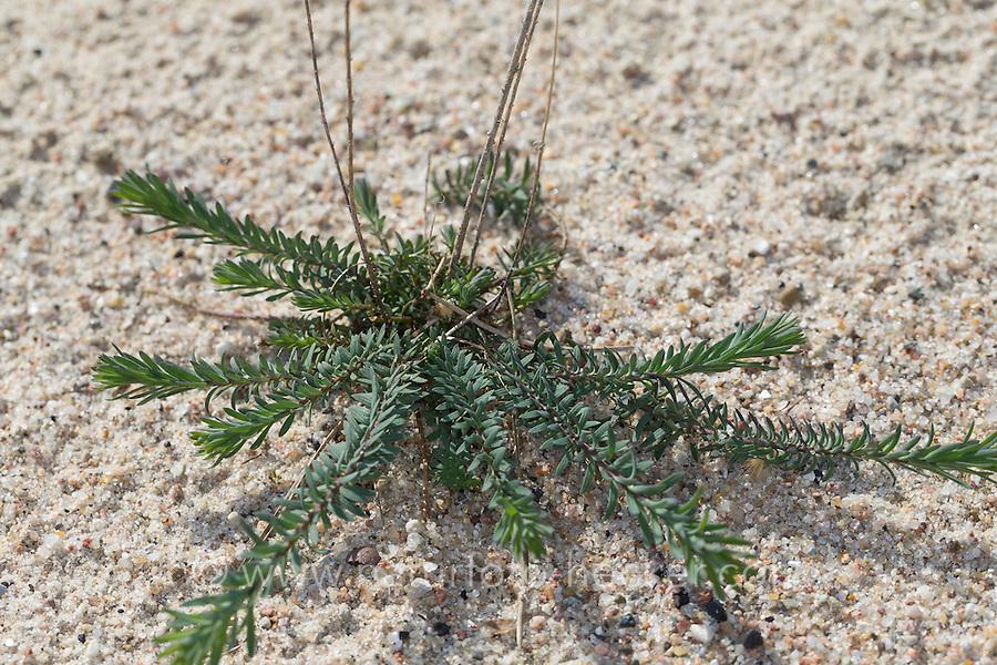Ausdauernder Lein, Stauden-Lein, Blatt, Blätter, Linum perenne, Adenolinum perenne, Linum sibiricum, perennial flax, blue flax, lint, le lin vivace