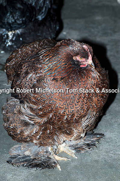 Partridge Cochin Hen full body view, vertical