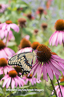 03017-01013 Giant Swallowtail butterfly (Papilio cresphontes) on Purple Coneflower (Echinacea purpurea)  Marion Co., IL