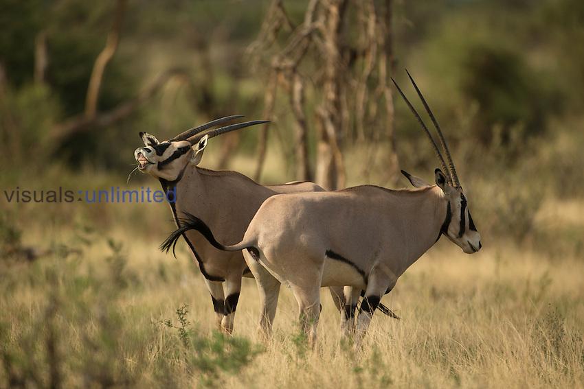 Beisa Oryx (Oryx beisa) grazing, Samburu Game Reserve, Kenya, Africa