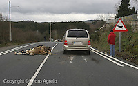 accidente. Atropello de una vaca