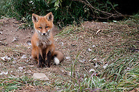 A red fox kit maintains alertness near its den on Alaska's north slope.