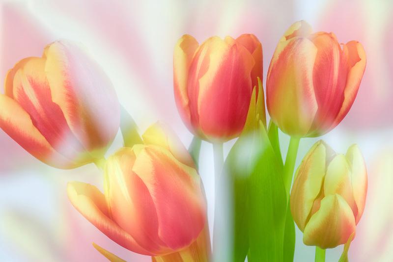 Impressionistic shot of tulips.