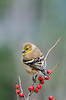 American goldfinch, Spinus tristis, perched on twig with red holly berries in winter, Nova Scotia, Canada