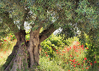 Olive Tree & Poppies