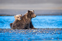 Spring cubs.  Coastal Brown Bears (Ursus arctos).  Of course, being bear cubs, they spent a lot of time knocking each other around.  However, they are sisters, with a strong bond.  At the end of the day, they are close.