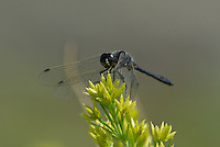 362690016 a wild male black meadowhawk sympetrum danae perches on a plant stem in mono county california