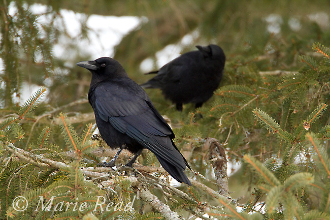 American Crows (Corvus brachyrhynchos) two perched together in conifer in winter, Ithaca, New York, USA