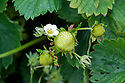 Flowers and unripe fruits of Strawberry 'Pandora', early June.