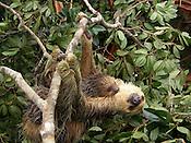 Bicho Pregui&ccedil;a &eacute; encontrada em &aacute;rea sendo desmatada.<br /> <br />  O bicho-pregui&ccedil;a &eacute; um mam&iacute;fero da Ordem Xenarthra, na qual existem duas fam&iacute;lias, a Bradypodidae (tr&ecirc;s dedos) e a Megalonychidae (dois dedos). S&atilde;o elas:<br /> <br /> Familia Bradypodidae:<br /> - Bradypus variegatus &ndash; Pregui&ccedil;a Comum.<br /> - Bradypus tridactylus &ndash; Pregui&ccedil;a-de-Bentinho.<br /> - Bradypus torquatus &ndash; Pregui&ccedil;a-de-coleira.<br /> <br /> Fam&iacute;lia Megalonychidae:<br /> - Choloepus hoffmanni &ndash; Pregui&ccedil;a-real.<br /> - Choloepus didactylus &ndash; Pregui&ccedil;a-de-dois-dedos.<br /> <br /> Foto Jo&atilde;o Batista<br /> Brasil