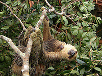 Bicho Preguiça é encontrada em área sendo desmatada.<br /> <br />  O bicho-preguiça é um mamífero da Ordem Xenarthra, na qual existem duas famílias, a Bradypodidae (três dedos) e a Megalonychidae (dois dedos). São elas:<br /> <br /> Familia Bradypodidae:<br /> - Bradypus variegatus – Preguiça Comum.<br /> - Bradypus tridactylus – Preguiça-de-Bentinho.<br /> - Bradypus torquatus – Preguiça-de-coleira.<br /> <br /> Família Megalonychidae:<br /> - Choloepus hoffmanni – Preguiça-real.<br /> - Choloepus didactylus – Preguiça-de-dois-dedos.<br /> <br /> Foto João Batista<br /> Brasil