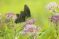 03029-01420 Spicebush Swallowtail Butterflies (Papilio troilus) male and female on Swamp Milkweed (Asclepias incarnata), Marion Co., IL