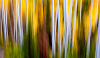 Ghosts of Autumn. Aspen abstracts from Soapstone Basin a few weeks back. The leaves are gone now, but I can't quite let go of autumn. Uinta Mountains, Utah. October 2016.