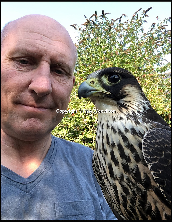 BNPS.co.uk (01202 558833)<br /> Pic: RNASYeovilton/BNPS<br /> <br /> Head Falconer, Brian Bird with 'Winkle', a male (tiercel) Peregrine.<br /> <br /> Britain's greatest aviator Eric 'Winkle' Brown continues to defend from the skies after a falcon under military command was named in his honour. <br /> <br /> 'Winkle' the peregrine is the latest addition to a squadron of birds of prey that protect aircrafts against bird strikes at the Royal Naval Air Station Yeovilton in Somerset. <br /> <br /> He was born in May, barely two months after Brown died, leaving the aptly named Brian Bird, head falconer at the station's Bird Control Unit, with few other names on the table.