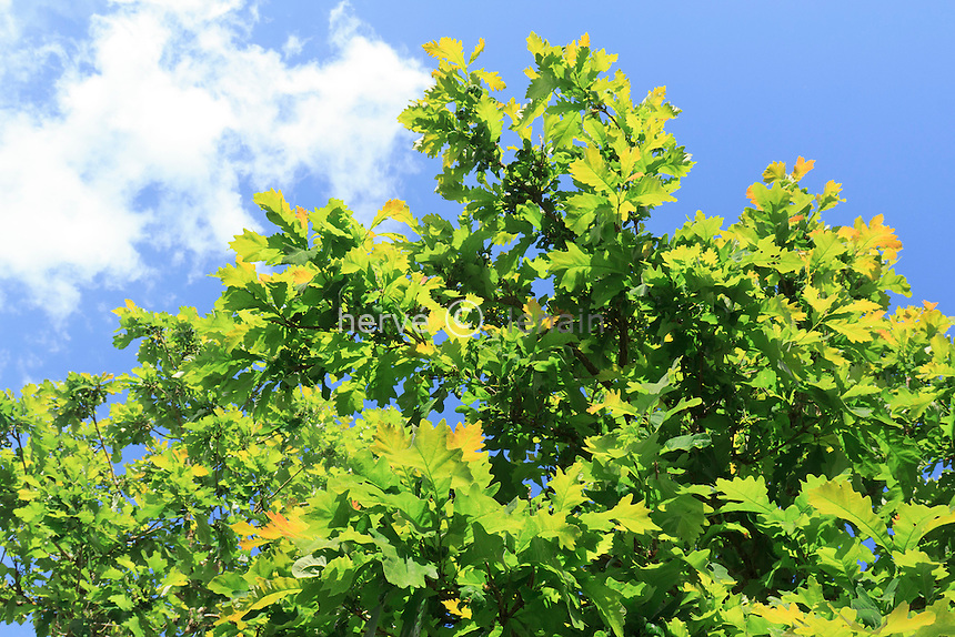 Chêne à gros glands, Quercus macrocarpa // leaves of Bur Oak, Quercus macrocarpa .