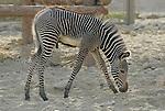 Young grevy's zebra