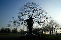 Gigantic tree standing up and high in Hyde Park, London, during chilly winter day.