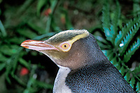 head of yellow-eyed penguin, Megadyptes antipodes, Enderby Island, New Zealand