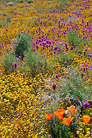 Wildflowers, California, Flowers, Plants, Colorful