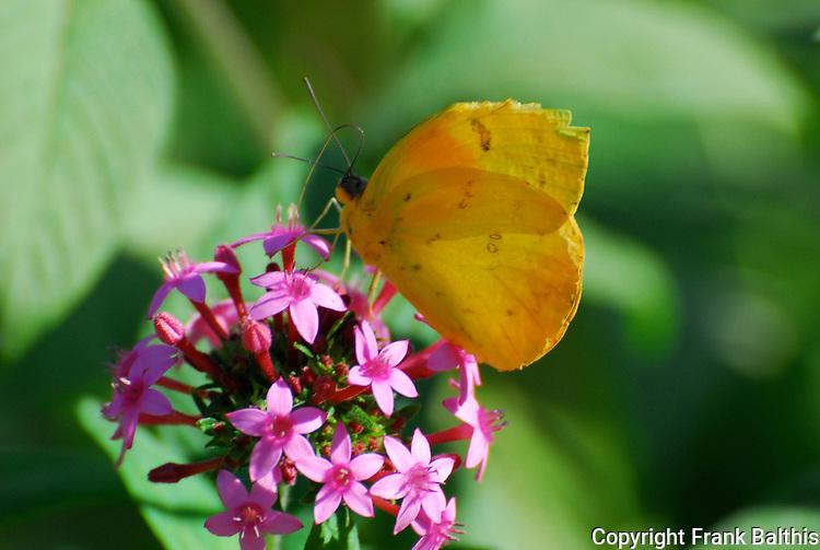 orange-barred sulpher, Phoebis philea