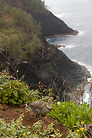 Endemic and endangered Nene bird or Hawaiian goose, Branta sandvicensis, Kauai, Hawaii, USA