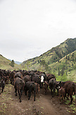 USA, Oregon, Joseph, cattle being moved from Wild Horse Creek up Big Sheep Creek to Steer Creek