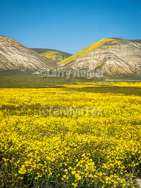 Elkhorn Plain and the Temblor Range, Carrizo Plain National Monument, San Luis Obispo County, Calif.<br /> <br /> Bigelow's tickseed, Coreopsis bigelovii