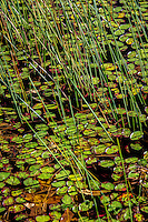 Lilly pads at Shady Lake in fall.  Shady Lake is a scenic 25-acre lake in remote mountain setting in the Ouachita National Forest in Arkansas. The Civilian Conservation Corps developed the Shady Lake Recreation Area in 1937.
