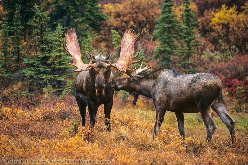 Young bull moose approaches mature adult bull in the autumn tundra, Denali National Park, Alaska