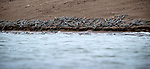 GREAT SNAPS:  A sea of young crocodiles look like a tiny army as they congregate on a shoreline.  The 20 day old gharials, unique to South Asia, make the banking look black.<br /> <br /> Wildlife photographer Shivang Mehta pictured the critically endangered species on the banks of the Chambal river in Rajasthan, India.  SEE OUR COPY FOR DETAILS.<br /> <br /> Please byline: Shivang Mehta/Solent News<br /> <br /> © Shivang Mehta/Solent News & Photo Agency<br /> UK +44 (0) 2380 458800
