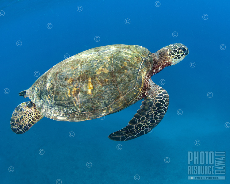 A underwater image of a honu (green sea turtle) off of the Waianae coast of O'ahu.