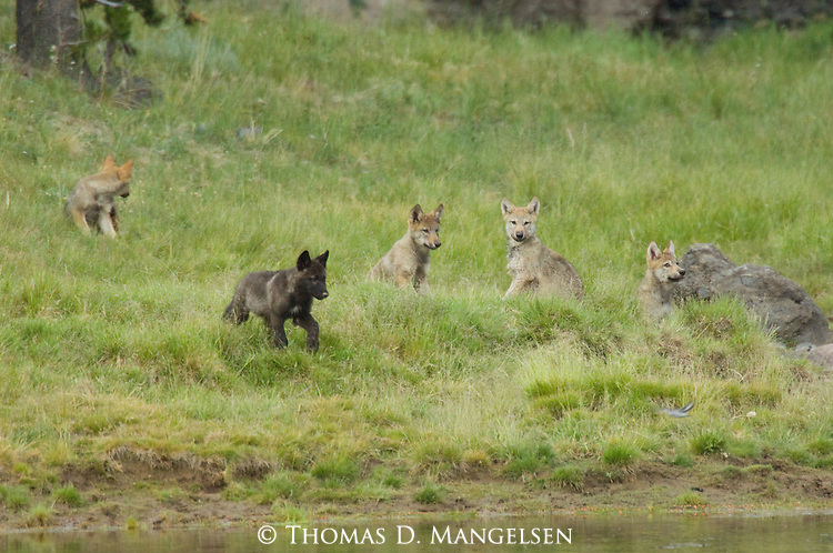 Wolf pups sit in the grass on the bank of the Yellowstone River in Yellowstone National Park, Wyoming.