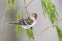 common redpoll, Acanthis flammea, perched on white pine twig, winter, Nova Scotia, Canada