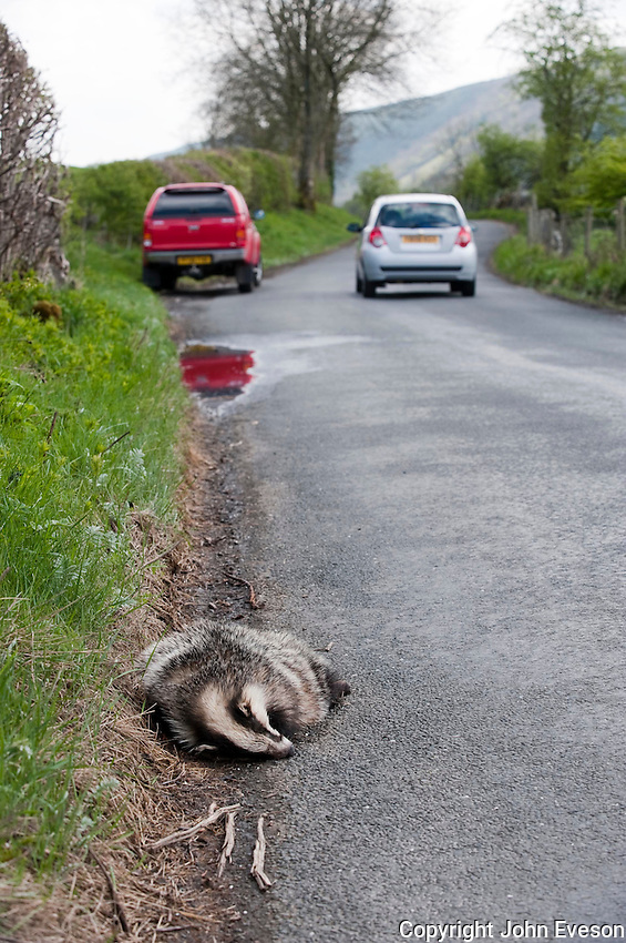 Dead European badger (Meles meles) at the side of a road, North Yorkshire with two vehicles.