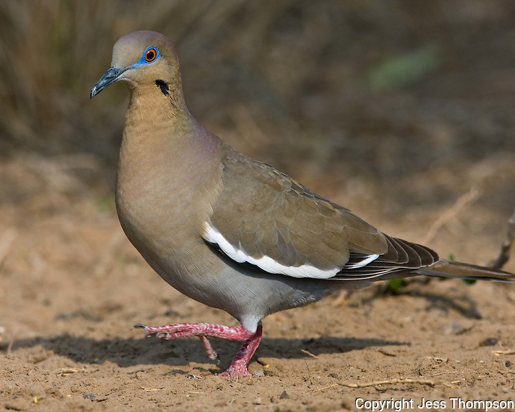 White-winged Dove, Dos Venadas Ranch, South Texas