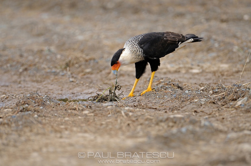 The Crested Caracara (Caracara cheriway) Looking for food.