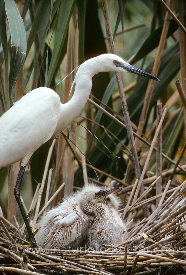 Seidenreiher, Seiden-Reiher, Altvogel mit Küken im Nest, Reiher, Egretta garzetta, Little Egret