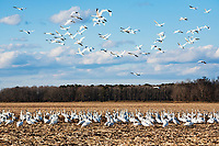 Tundra swans (Cygnus columbianus) feeding in corn field
