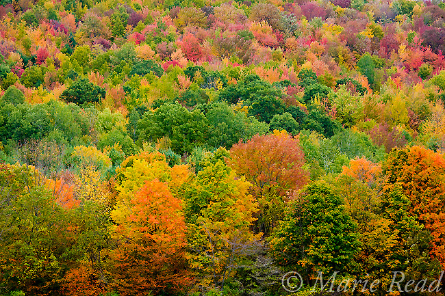 Colorful foliage of beech-maple forest on an autumn hillside, Ithaca, New York, USA