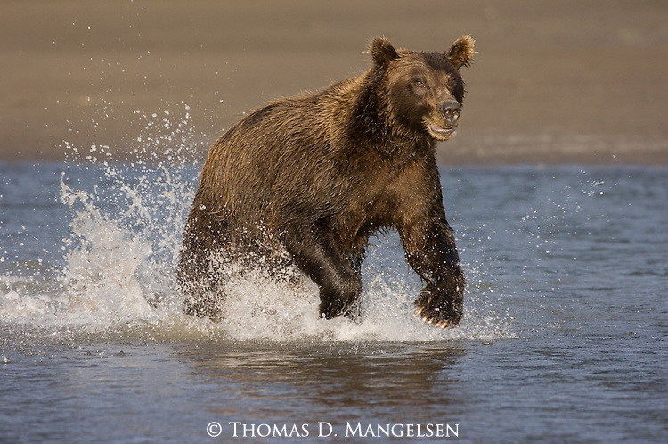 Brown bear chasing salmon near the mouth of Silver Salmon Creek in Lake Clark National Park, AK