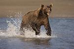 Brown bear chasing salmon near the mouth of Silver Salmon Creek in Lake Clark National Park, AK