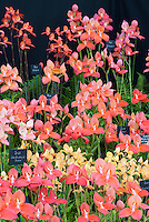 Table Mountain orchids Disas - Dave Parkinson Exhibit, 2008 Hampton Court Palace Flower Show, Disa hybrids and species native to South Africa