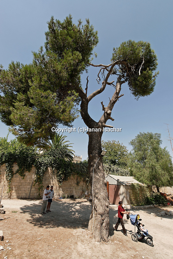 Israel, Aleppo Pine Tree in Jerusalem Old City<br />