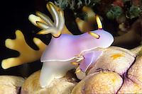 Adult and young nudibranch<br /> Thorunna halourga<br /> Pacific
